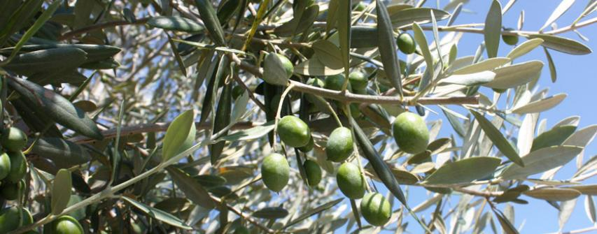 olives-st matré